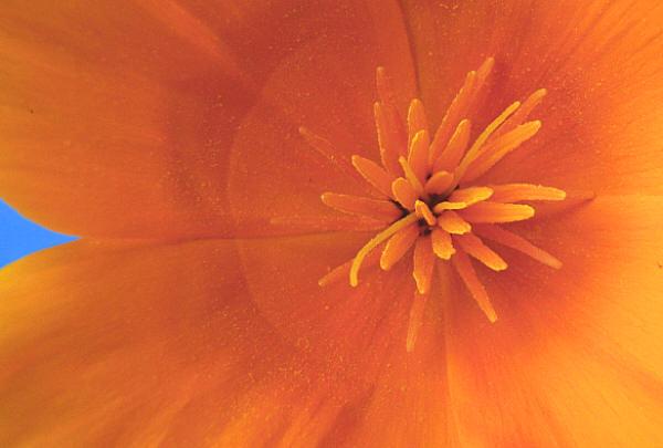 California Poppy macro