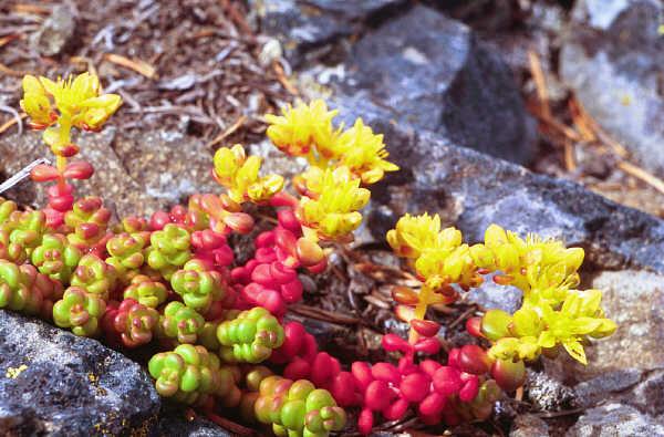 Spreading stonecrop,  Sedum divergens