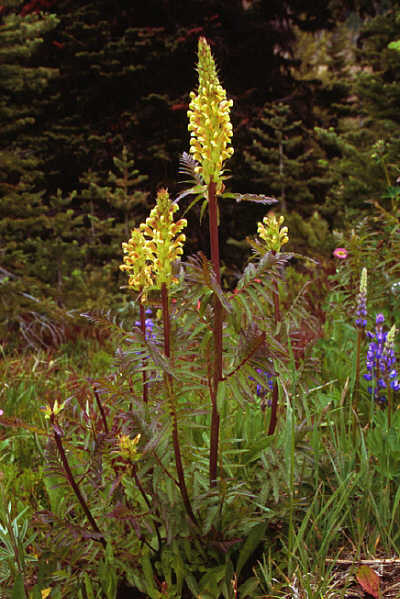 Bracted lousewort, Pedicularis bracteosa