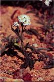 Yarrow, Achillea millefolium