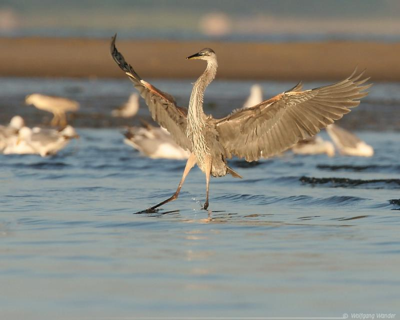 Great Blue Heron <i>Ardea Herodias</i>