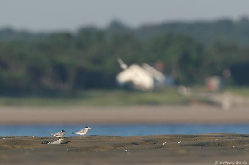 Least Terns <i>Sterna Antillarum</i>