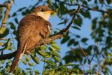 Yellow-Billed Cuckoo Coccyzus Americanus