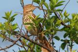 Brown Thrasher Toxostoma Rufum