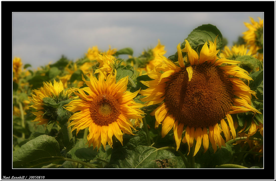 20050810 - Sun Flower -
