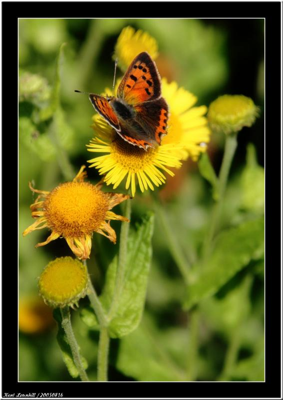20050816 - Butterfly and flower -