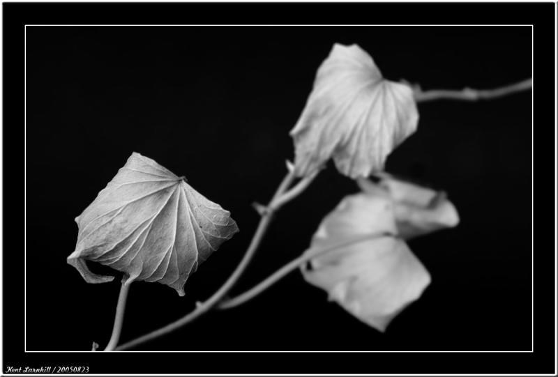 20050823 - Dry leaf -