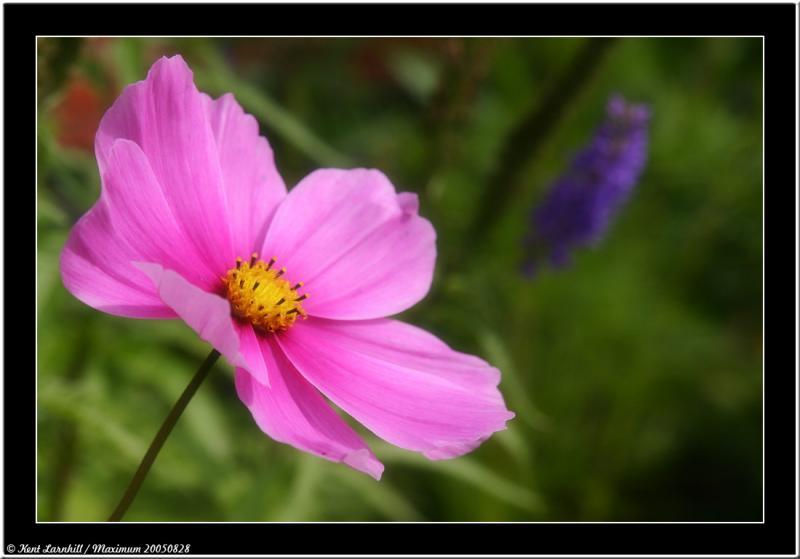 20050828 - Purple flower -