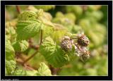 20050718 - Rasberry -