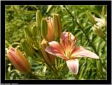 20050725 - Lily -