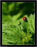 20050915 - Ladybird -