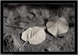 20051027 - 2 leaf -