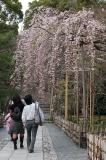 Cherry Blossoms - Philosopher's Walk/ Kyoto