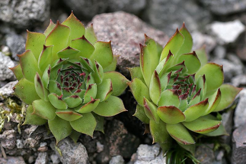 Alpen-Hauswurz (Sempervivum tectorum L. ssp. alpinum)