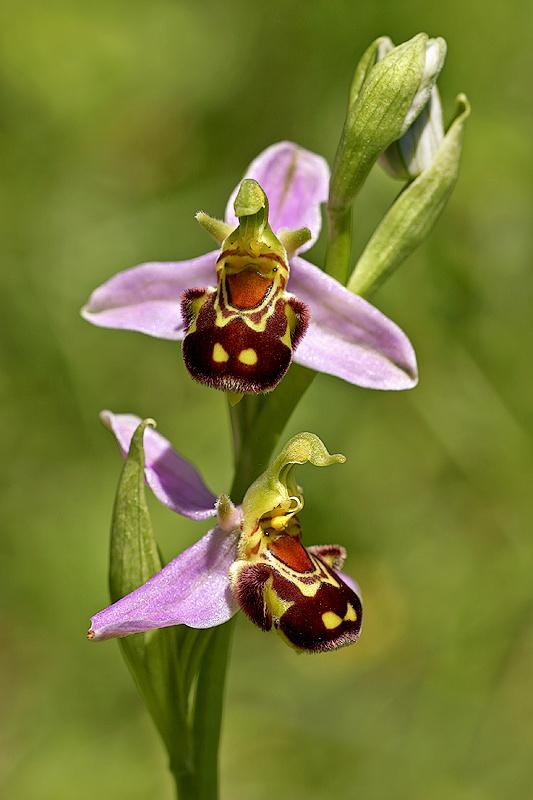 Bienenragwurz <I>(Ophrys apifera)</I>