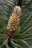 Männliche Blüten (Pollensäckchen) der Berg-Kiefer