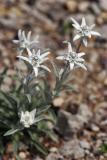 Alpen-Edelweiß (Leontopodium alpinum Cass.) 2
