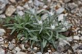 Alpen-Edelweiß (Leontopodium alpinum Cass.) 3
