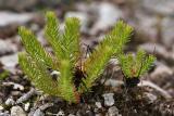 Büschel-Hauswurz (Rhodiola fastigiata)
