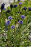 Echte Kugelblume (Globularia punctata Lapeyr.)