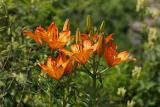 Feuer-Lilie (Lilium bulbiferum) 3
