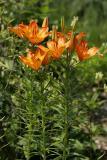 Feuer-Lilie (Lilium bulbiferum) 5