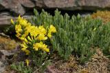 Niederliegender Geißklee (Cytisus decumbens (Durande) Spach)