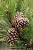 Zapfen der Berg-Kiefer (Pinus mugo)