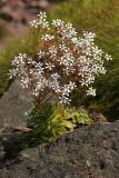 Pracht-Steinbrech (Saxifragma cotyledon)