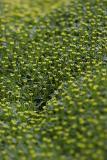 Alpenpolster (Azorella trifurcata Pers.)