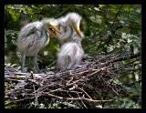 Egret Chicks 02 Aug05