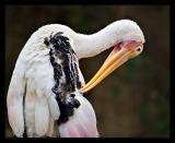 Painted Stork 01 Aug05