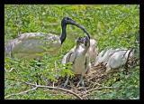 Ibis Family 01 Aug05