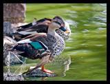 Spot Billed Ducks Oct 05