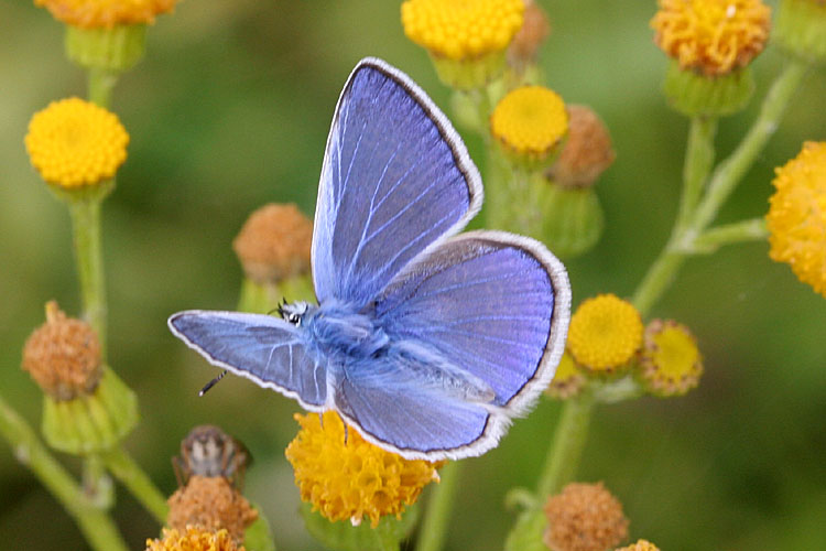 Icarus blauwtje (man)<br>Common blue(male)<br>Polyommatus icarus