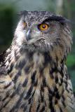 Bubo BuboEagle OwlOehoe