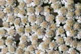 Achillea millefolium Common yarrow Gewoon duizendblad