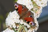 Inachis io Peacock Dagpauwoog