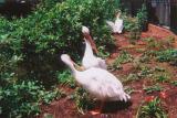 pelicans1.JPG