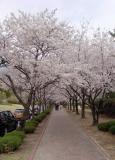 Cherry blossom (Prunus Yeodensis Matsumara)