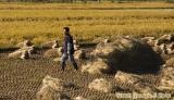 A farmer busy harvesting his crop, Gyeongju