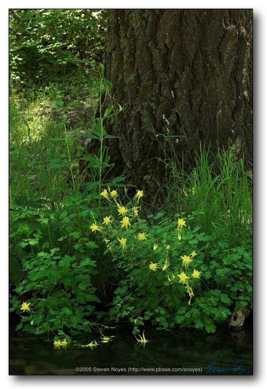 Mogollon Rim : Columbine Tree