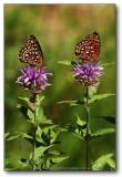 Twin Butterfly