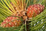Vermont Pine-Apples?