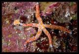 Linckia multifor Sea Star