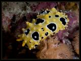 Nudibranch, Ocellate Phyllidia