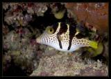 Black-Saddled Sharpnose Pufferfish