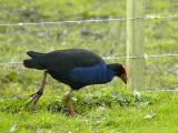 Pukeko (or swamp hen)