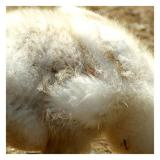 6/7: First Big-goose feathers!