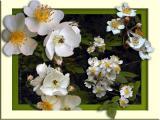 Mulitflora Rose Composite